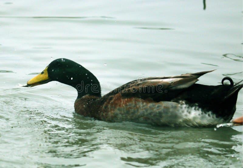 Le canard a pêché un poisson image libre de droits
