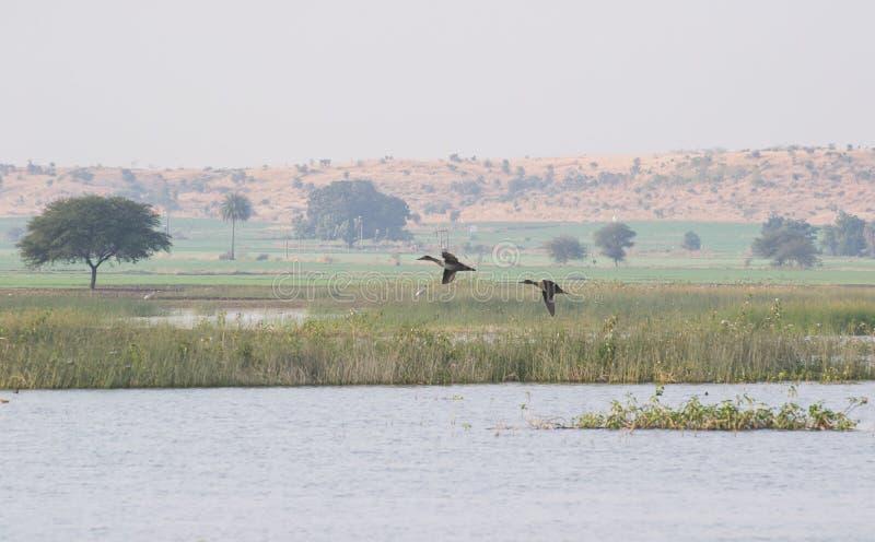 Le canard pilet du nord penche le vol au-dessus du lac images stock