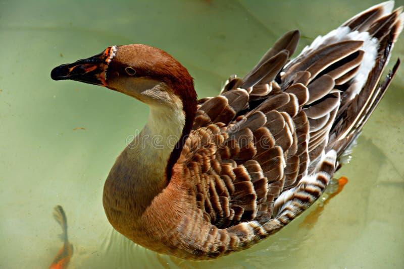 Le canard qui nage photo stock