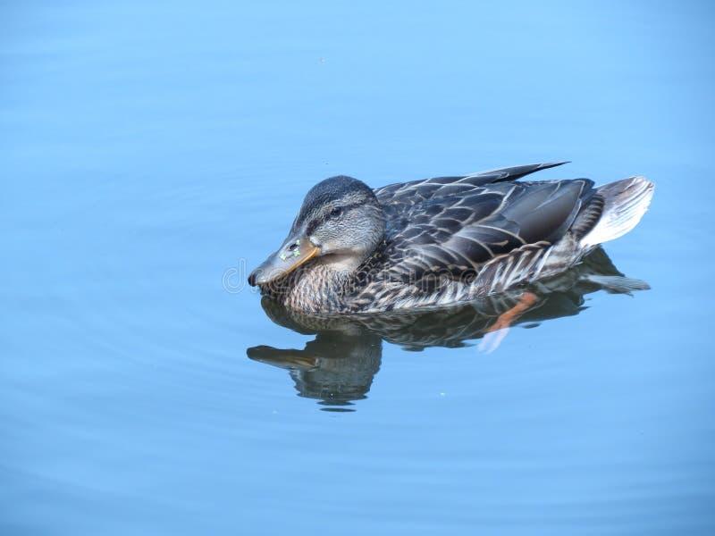 Le canard sauvage en rivière images stock