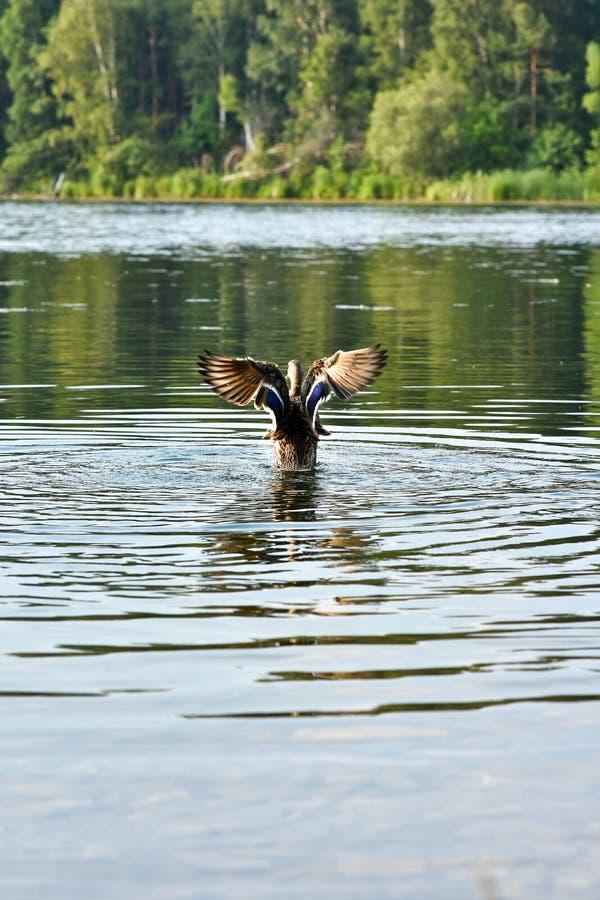 Le canard sauvage Mallard a répandu ses ailes au-dessus de l'eau du lac photos libres de droits