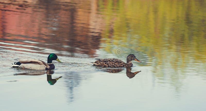 Le canard sauvage nage dans le lac image stock