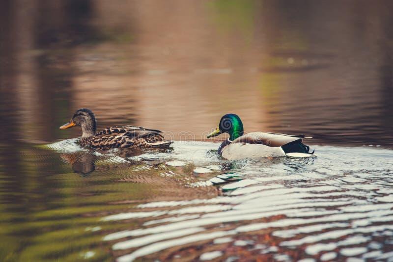 Le canard sauvage nage dans le lac photo libre de droits