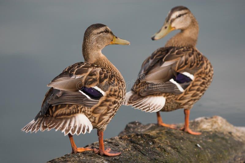 Le canard sauvage nage dans le lac photos libres de droits