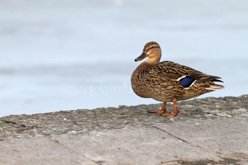 Le canard se tient toujours avec le lac au fond image libre de droits