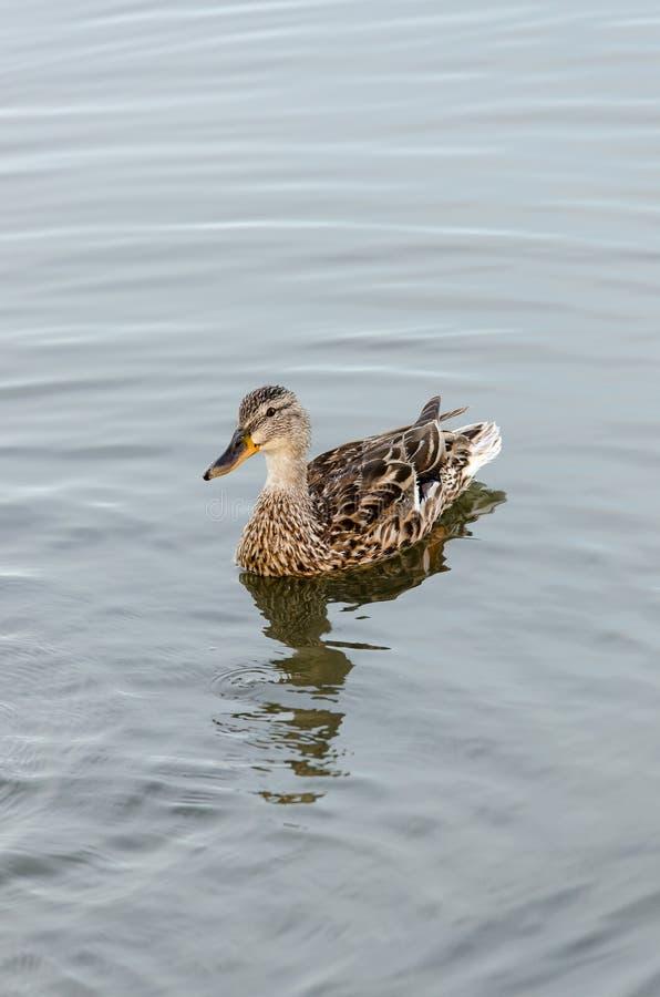 Le canard sur le lac photographie stock