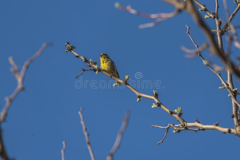 Le canari photos libres de droits
