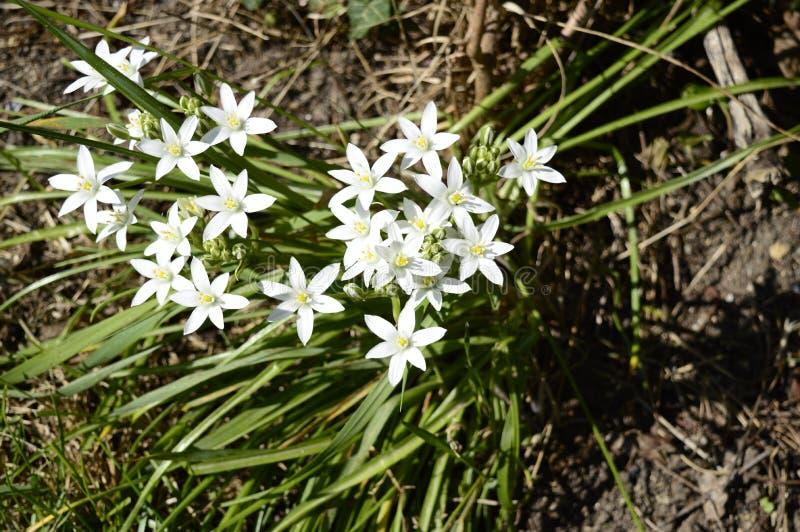 Le candida de Zephyranthes a appelé également zephyrlily image stock
