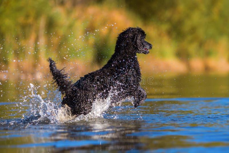 Le caniche royal saute dans l'eau photographie stock libre de droits