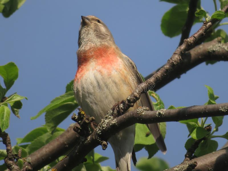 Le cannabis est un oiseau chanteur de la famille du peloton aileron-enduit de rongeur photo libre de droits