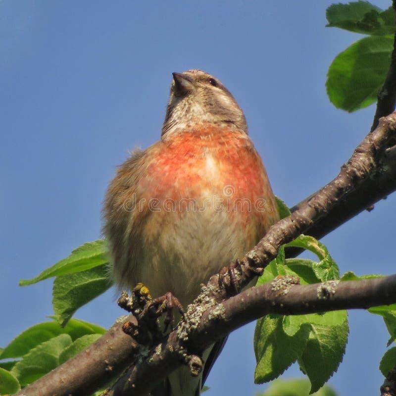 Le cannabis est un oiseau chanteur de la famille du peloton aileron-enduit de rongeur photos stock