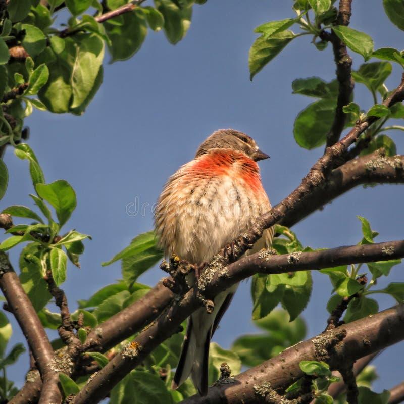 Le cannabis est un oiseau chanteur de la famille du peloton aileron-enduit de rongeur images libres de droits