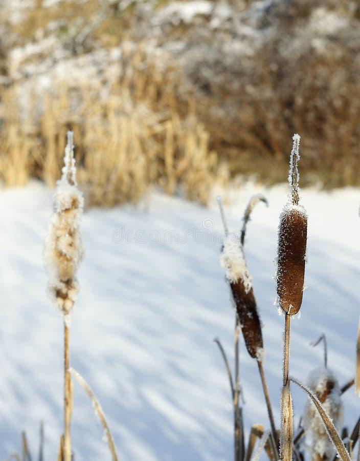 Le canne nell'inverno immagini stock libere da diritti