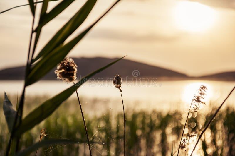 Le canne sulla costa del lago al tramonto immagini stock
