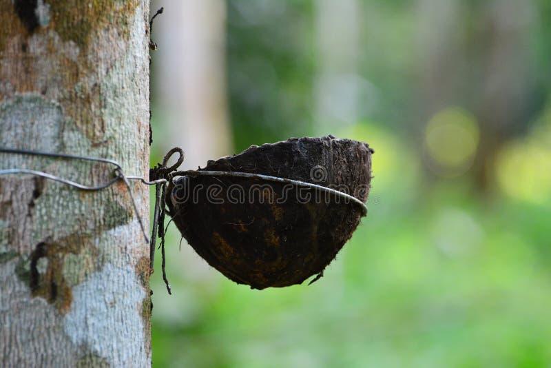 Le caoutchouc cru de latex dans les arbres en caoutchouc font du jardinage image stock