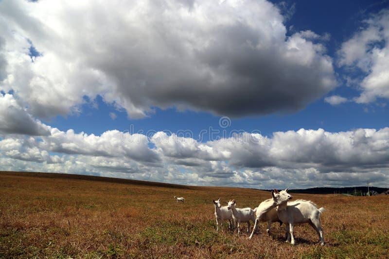 Le capre bianche con bambini pascono nel campo immagini stock libere da diritti