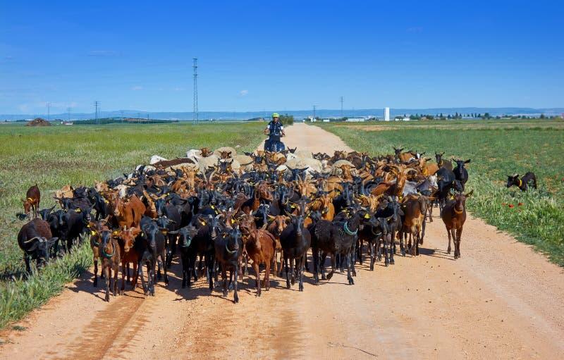 Le capre e le pecore si affollano con il pellegrino in Castiglia fotografia stock