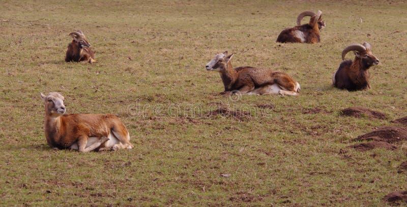 Le capre stanno riposando sul pascolo fotografia stock