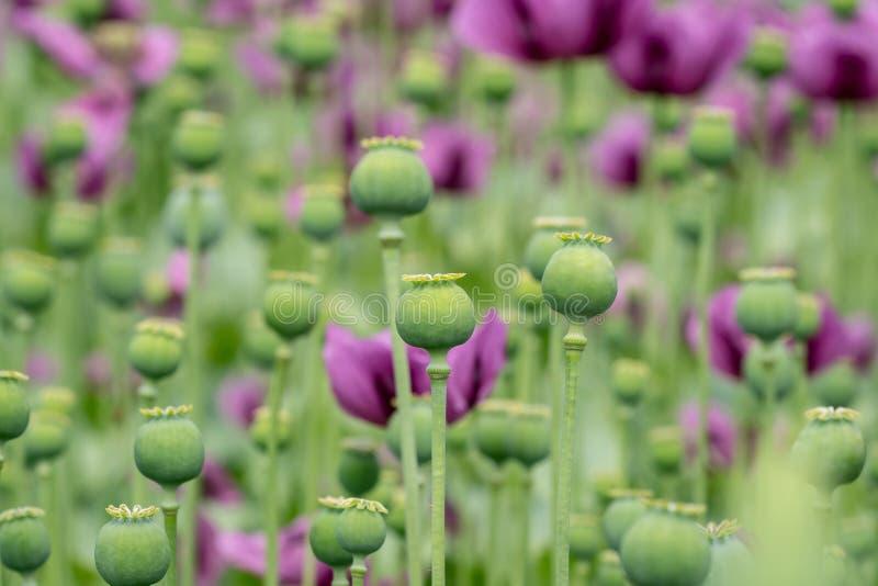 Le capsule verdi del papavero da oppio, papavero porpora sboccia in un campo immagini stock