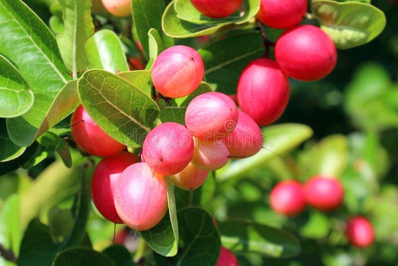 Le carandá del Carissa, Carunda, Karonda semina il karanda rosa o rosso maturo dell'agrume o la frutta variopinto e tropicale di  immagini stock