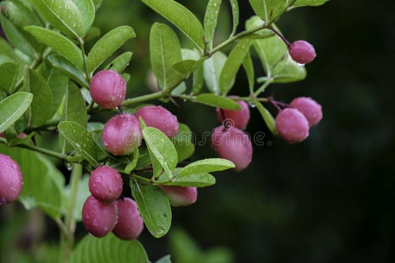 Le carandá del Carissa, Carunda, l'albero da frutto di Koromcha, Karonda semina il karanda variopinto e tropicale rosa o rosso ma fotografia stock