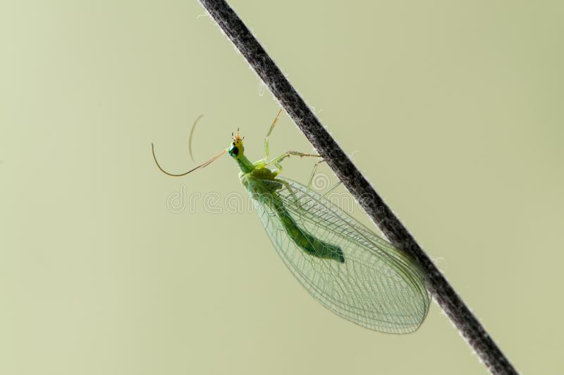 Le carnea de Chrysoperla d'insecte, connu sous le nom de lacewing vert commun, se repose dans l'herbe en clairière de forêt images libres de droits