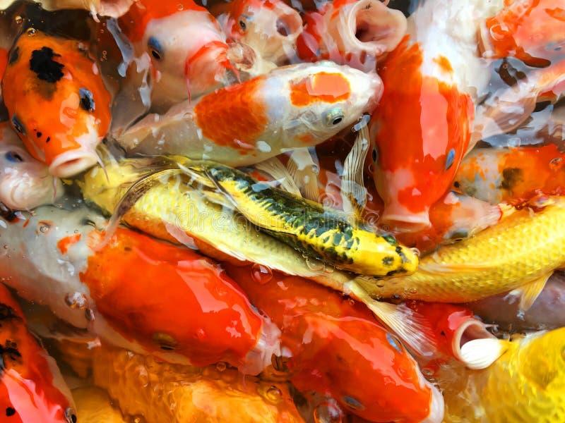 Le carpe operate pescano nell'alimento aspettante dello stagno immagine stock