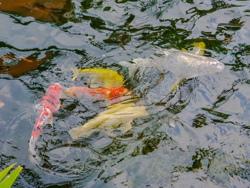 Le carpe variopinte della sfuocatura o carpe o carpe a specchi operate che nuotano nello stagno fotografia stock libera da diritti