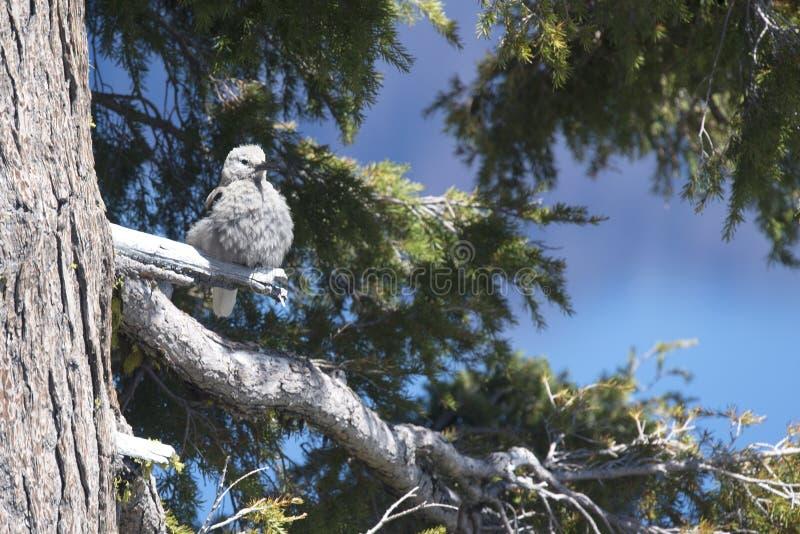 Le casse-noix de Clark se repose dans un arbre photographie stock libre de droits