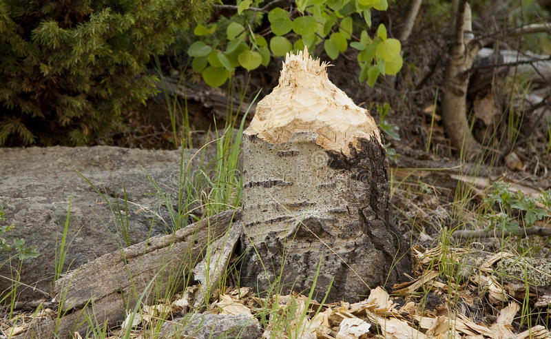 Le castor a mâché le tronçon d'arbre photos stock