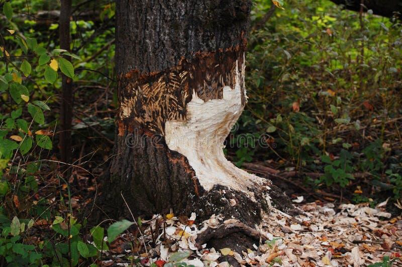 Le castor ronge un arbre épais photographie stock libre de droits