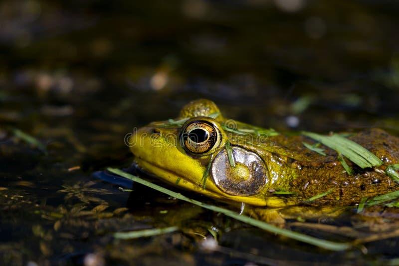 Le catesbeianus de Lithobates de grenouille mugissante ou le catesbeiana américain de Rana photo libre de droits