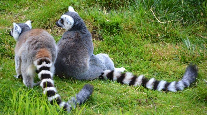 Le catta anneau-coupé la queue de lémur de lémur image stock