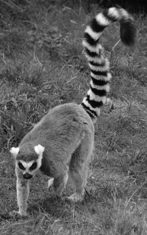 Le catta anneau-coupé la queue de lémur de lémur photos libres de droits