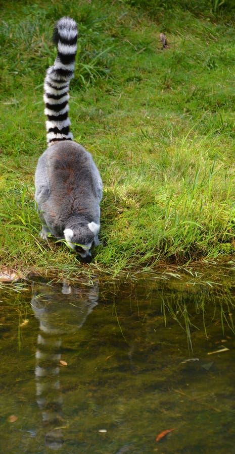 Le catta anneau-coupé la queue de lémur de lémur photographie stock