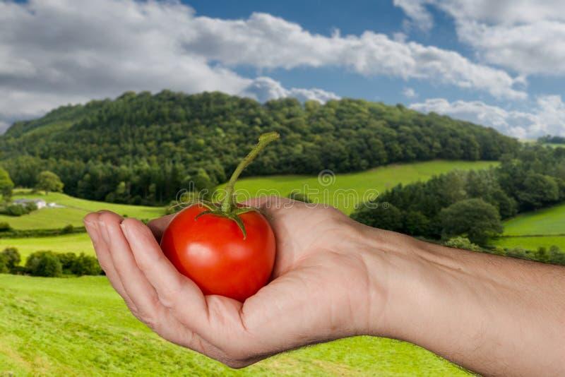 Le Caucasien équipe la main tenant la grande tomate organique images libres de droits