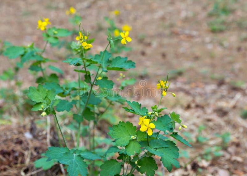 Le celandine curatif sauvage d'usine avec le jaune fleurit le plan rapproché photo libre de droits