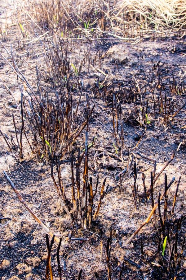 Le ceneri ed il relitto stump l'erba dopo il fuoco fotografie stock