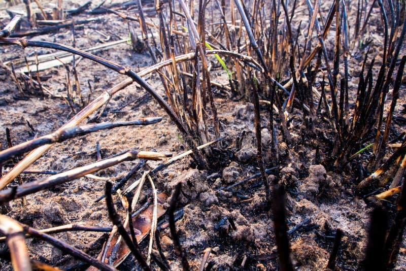Le ceneri ed il relitto stump l'erba dopo il fuoco fotografia stock libera da diritti