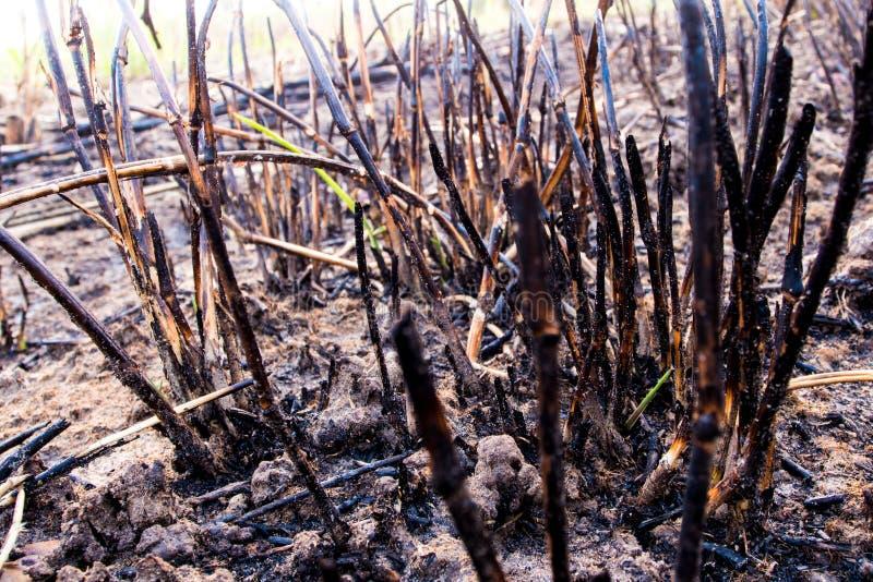 Le ceneri ed il relitto stump l'erba dopo il fuoco immagine stock libera da diritti