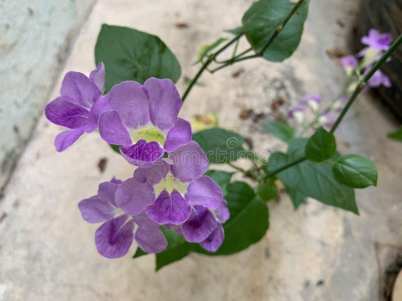 Le centre de la belle fleur en tant que fond naturel, la fleur violette ou pourpre et les feuilles photographie stock