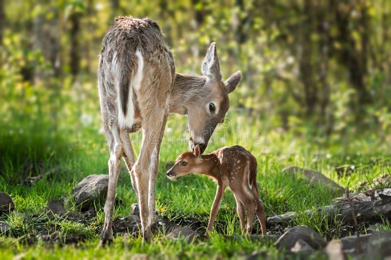 Le cerf commun Blanc-coupé la queue (virginianus d'Odocoileus) renifle derrière le faon image stock