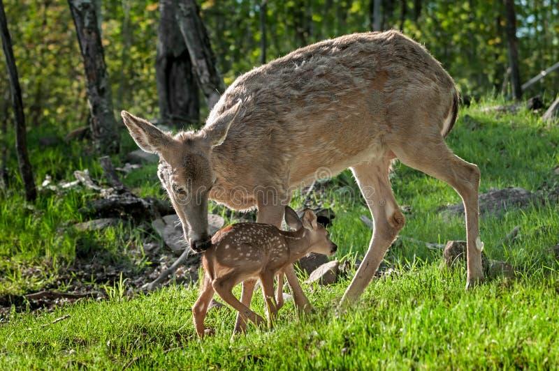 Le cerf commun Blanc-coupé la queue (virginianus d'Odocoileus) salue son faon image libre de droits