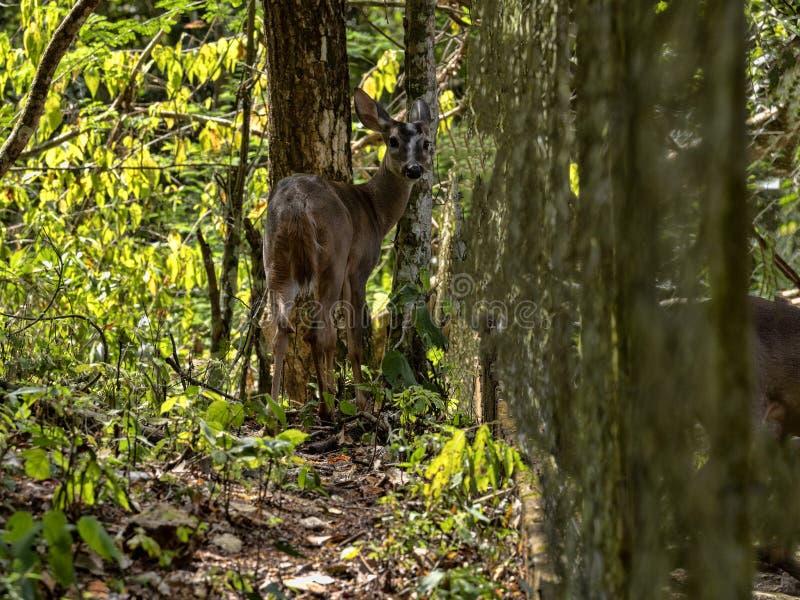 Le cerf commun coupé la queue blanc, nelsoni de virginianus d'Odocoileus, cette sous-espèce habite seulement en Amérique Centrale image libre de droits
