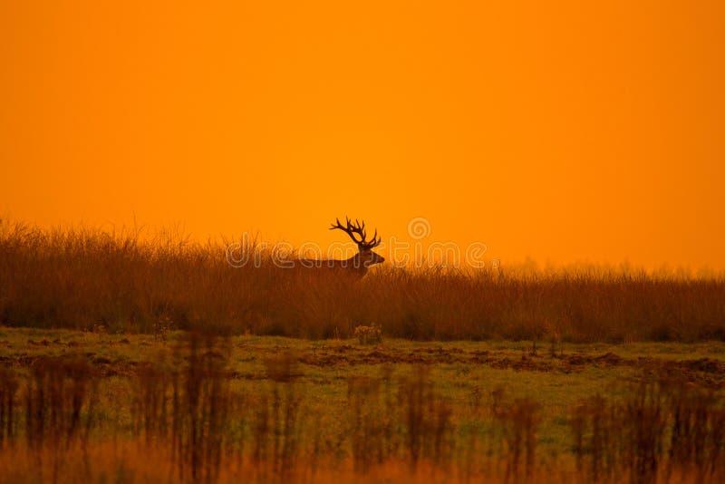 Le cerf commun de mâles conduit une daine images stock