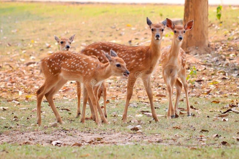 Cerfs communs de sika de bébé image stock