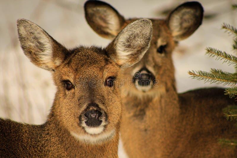 Le cerf commun de Whitetail fait dans la neige photographie stock