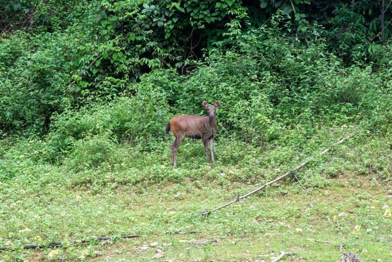 Le cerf commun mange l'herbe dans la réserve naturelle de saeng de khlong de forêt thailand images stock