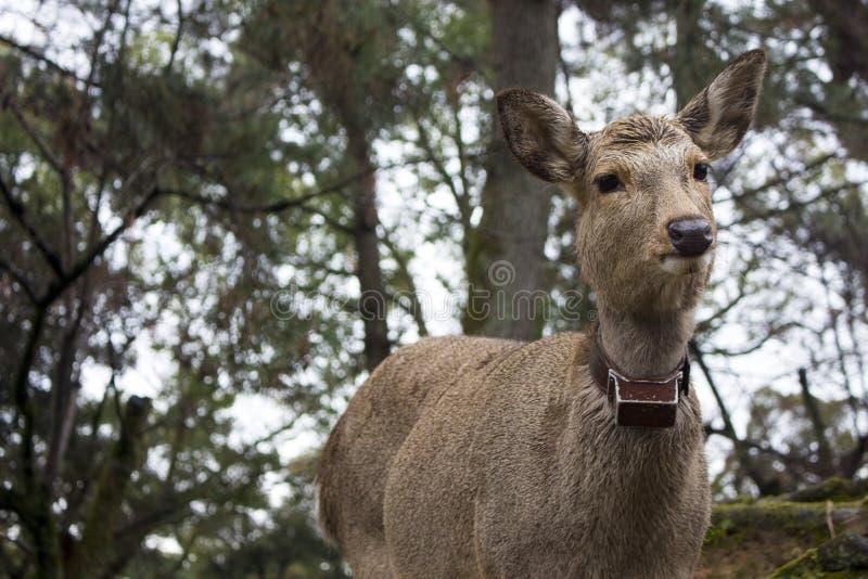 Le cerf commun vous regarde, Nara Park, Japon photos libres de droits