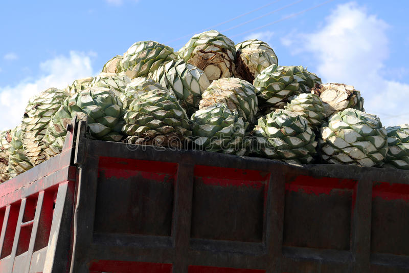 Le cerf de l'usine d'agave pour faire le peyotl ou le Mezcal image libre de droits